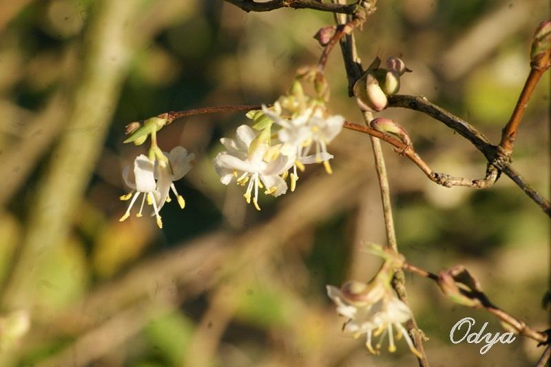 Lonicera fragrantissima,du parfum en hiver 2013_f30