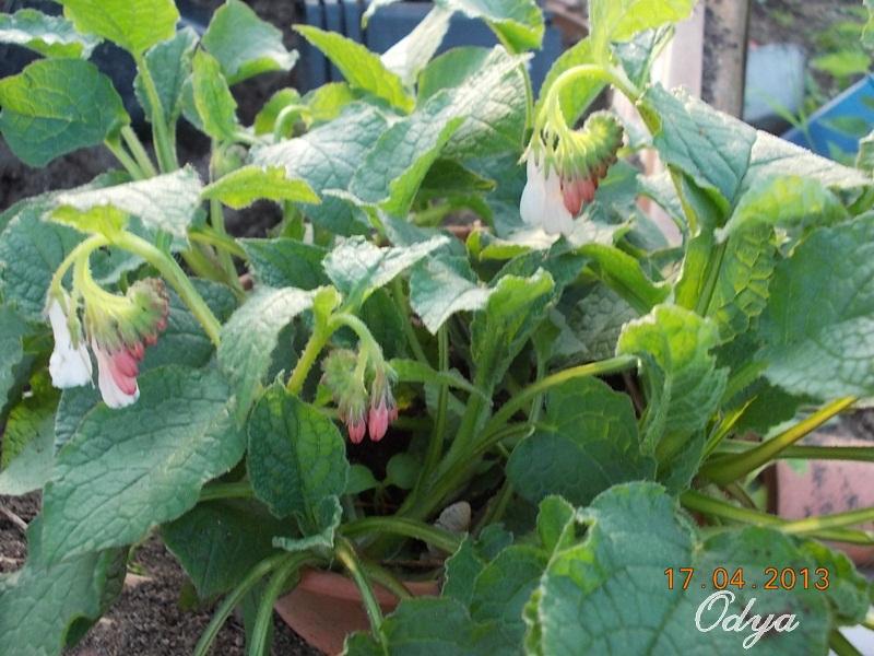 Symphytum grandiflorum Hidcote Pink (consoude) Aa_20111