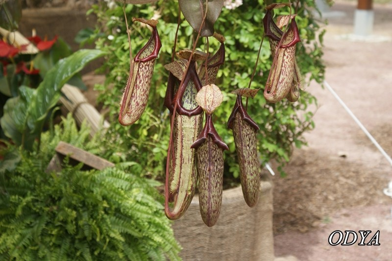 NEPENTHES (plante carnivore...) - Page 2 Dsc09011