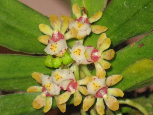 mes orchidées Gastro10