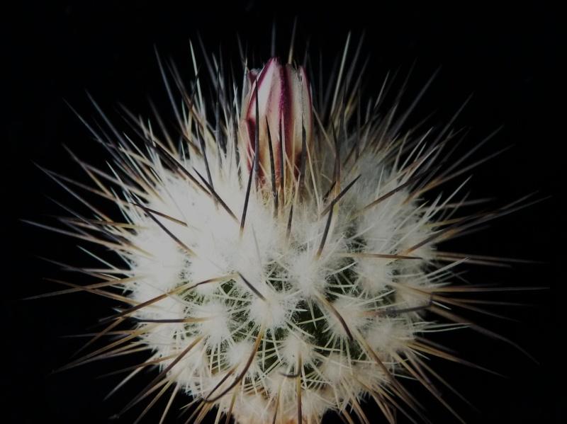 Gymnocactus mandragora ssp. mandragora P1150447