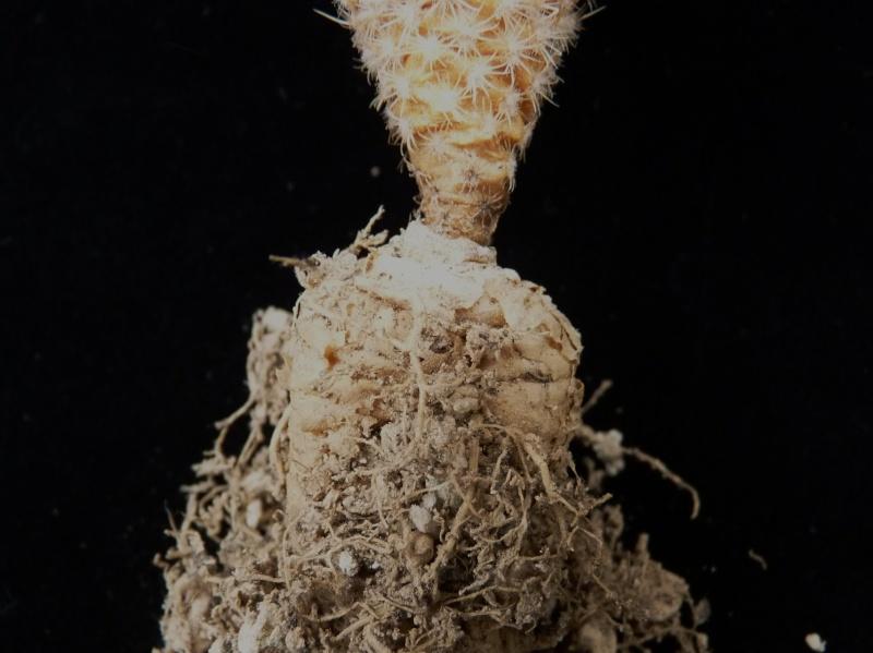 Gymnocactus mandragora ssp. mandragora P1150448