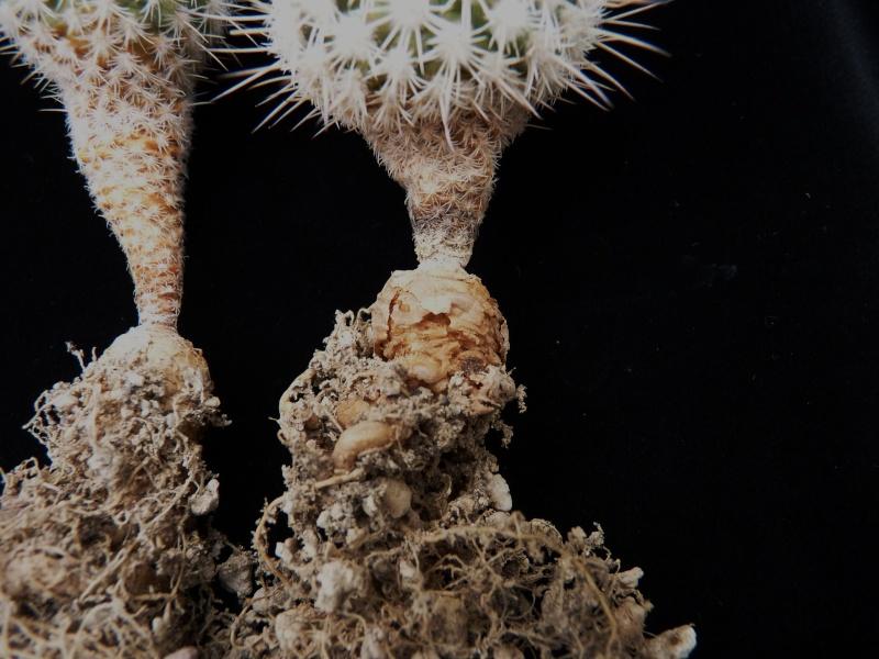 Gymnocactus mandragora ssp. mandragora P1150450