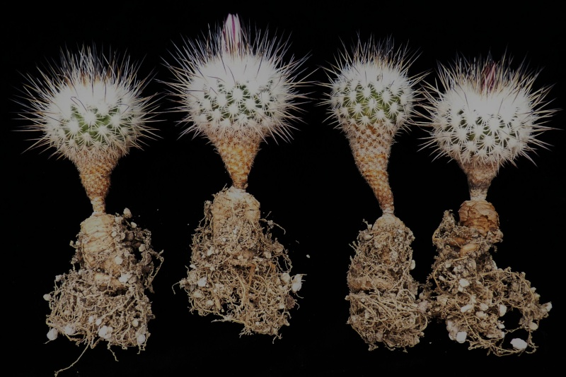 Gymnocactus mandragora ssp. mandragora P1150451