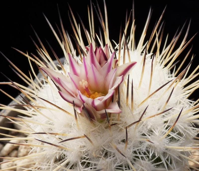 Gymnocactus mandragora ssp. mandragora P1150453