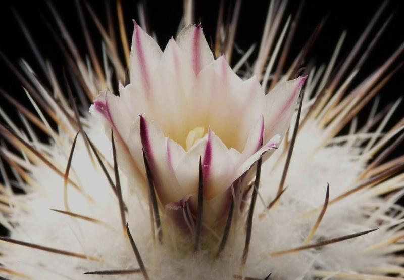 Gymnocactus mandragora ssp. mandragora P1150511