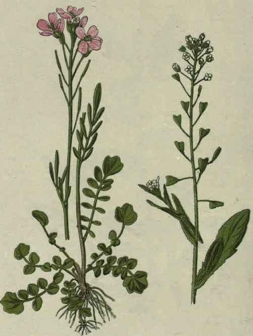 laiteron délicat ? Sonchus tenerrimus  Lady-s10