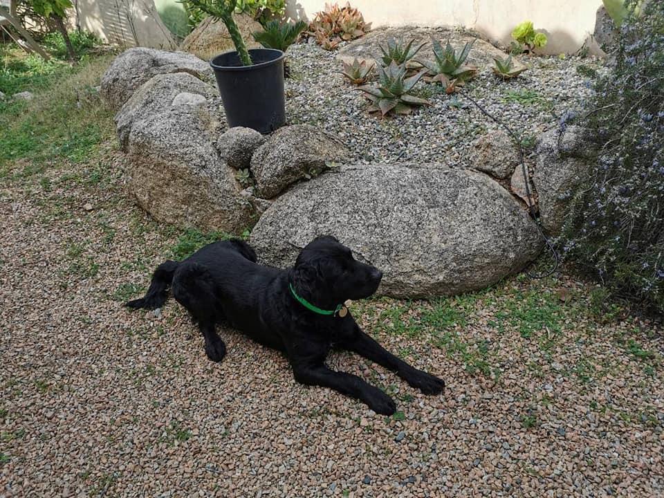 MAXx, mâle croisé épagneul/labrador - asso SOS Décharge Corse du sud 14682410