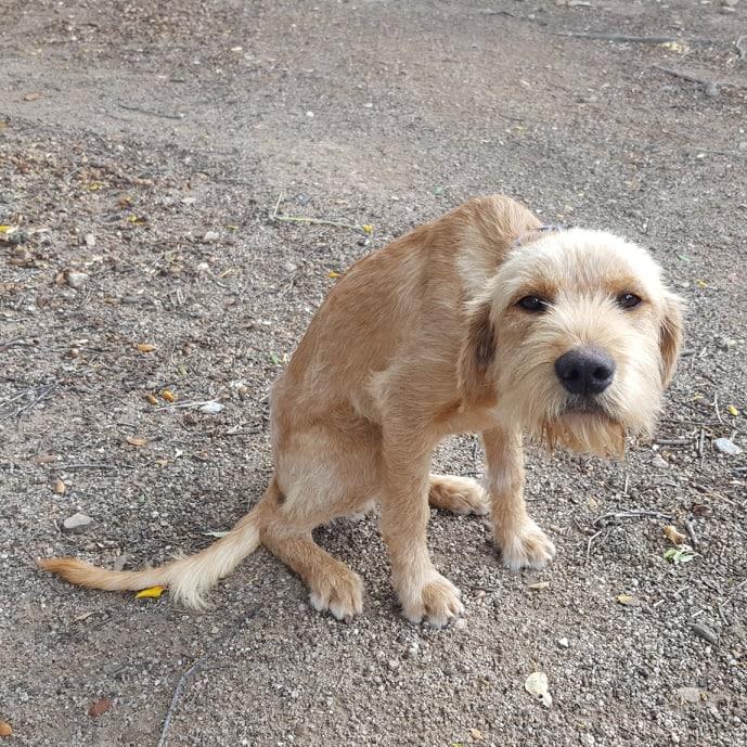 Beegees, jeune fauve de bretagne 8 mois - d' asso SOS Décharge, Corse du sud - - La tribu des Crocs mignons  (13) 59596110