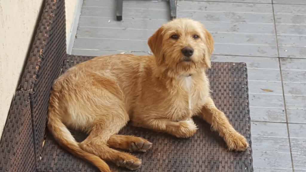 Beegees, jeune fauve de bretagne 8 mois - d' asso SOS Décharge, Corse du sud - - La tribu des Crocs mignons  (13) 60363110