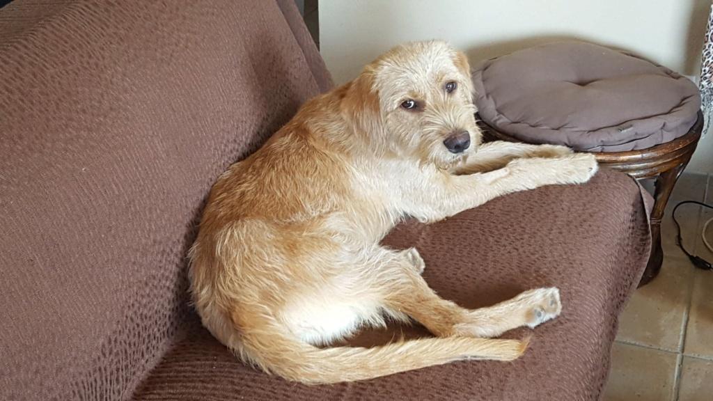 Beegees, jeune fauve de bretagne 8 mois - d' asso SOS Décharge, Corse du sud - - La tribu des Crocs mignons  (13) 60818810