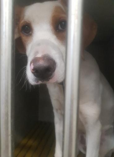 Texane, x  beagle/epagneul blanc/fauve 6 mois d'asso SOS Décharge, Corse du sud -  asso La tribu des Crocs mignons (13) 69666310
