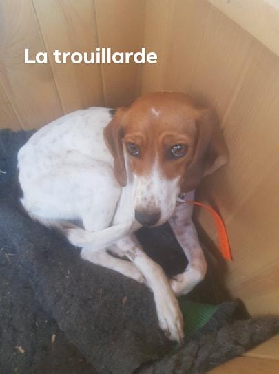 Rosie, femelle typée beagle env 1 an accidentée d'asso SOS Décharge, Corse du sud - asso La tribu des Crocs mignons - en FA région PACA  73039710