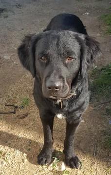 MAXx, mâle croisé épagneul/labrador - asso SOS Décharge Corse du sud 78918010