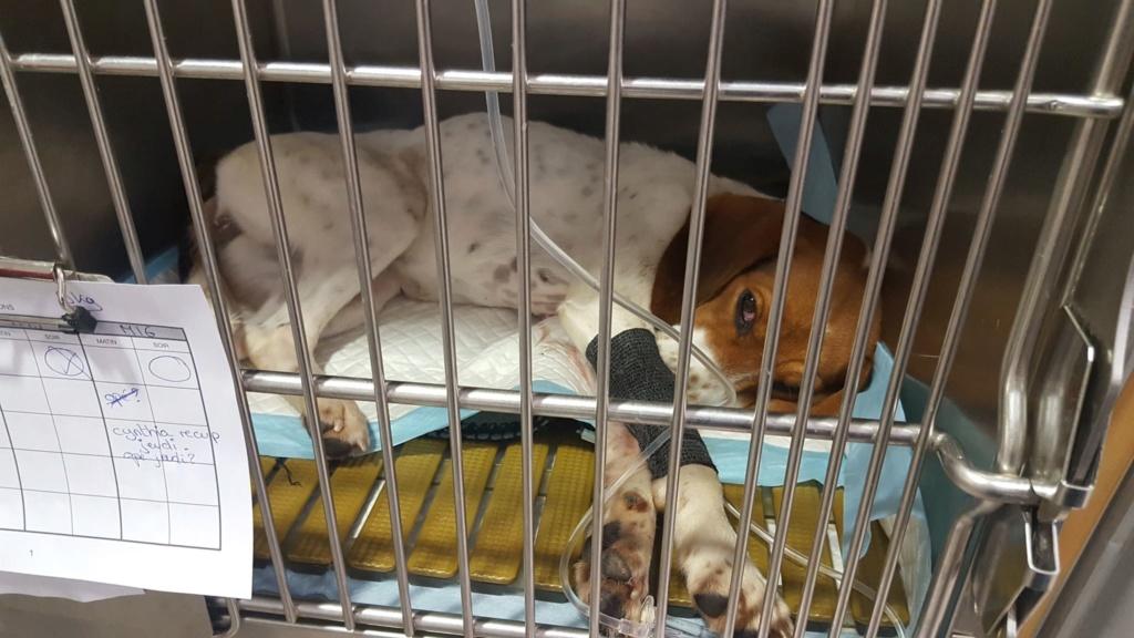 Rosie, femelle typée beagle env 1 an accidentée d'asso SOS Décharge, Corse du sud - asso La tribu des Crocs mignons - en FA région PACA  Chi10