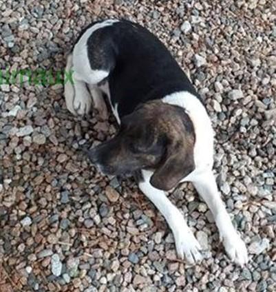 Elsa  (ex Darling), x beagle/cursinu, jeune femelle adulte 20 kg   d'asso SOS Décharge Corse du sud - asso La tribu des Crocs mignons - PERDUE  secteur Le Trove région PACA Darlin11