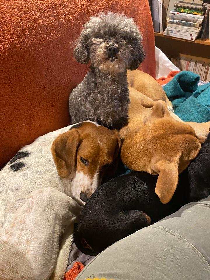 Rosie, femelle typée beagle env 1 an accidentée d'asso SOS Décharge, Corse du sud - asso La tribu des Crocs mignons - en FA région PACA  Fa15