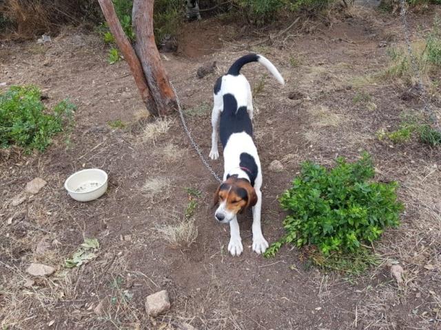 CARLSON (ex Asco) x beagle 10 mois d'asso SOS Décharge Corse du sud -  Sans Collier Provence à Gareoult (83) M10