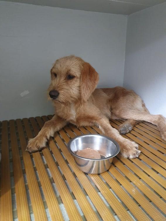Beegees, jeune fauve de bretagne 8 mois - d' asso SOS Décharge, Corse du sud - - La tribu des Crocs mignons  (13) M_grif10