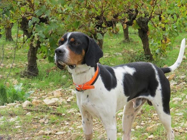 ORSON,  dit Noxx  mâle  braque tricolore 16 mois d' asso SOS Décharge, Corse   - Refuge Sans Collier Provence à Gareoult (83) - Deutschland Nox-en10