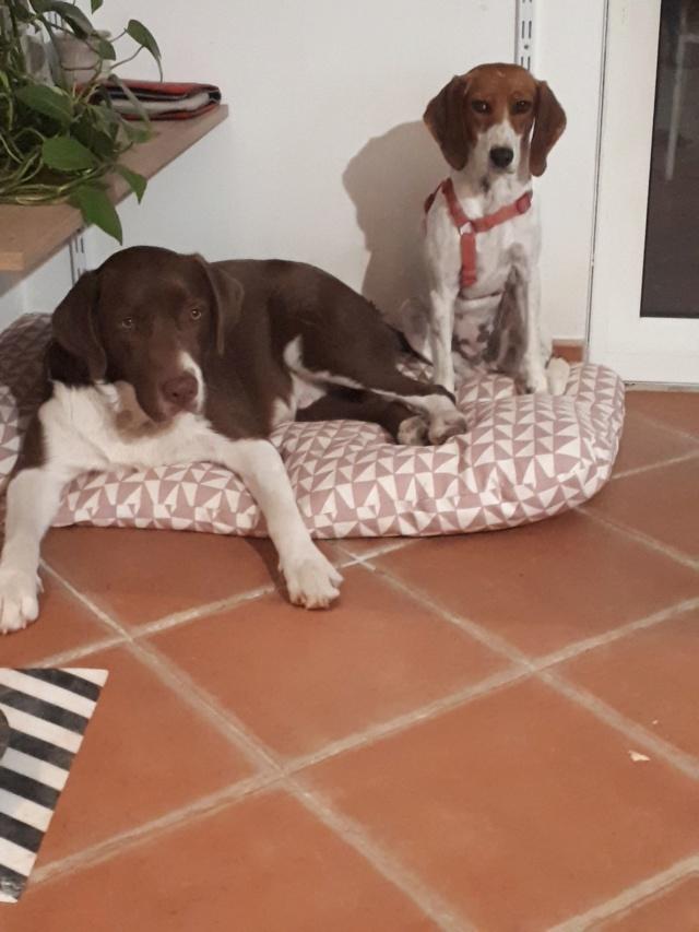 Rosie, femelle typée beagle env 1 an accidentée d'asso SOS Décharge, Corse du sud - asso La tribu des Crocs mignons - en FA région PACA  Rosie_11