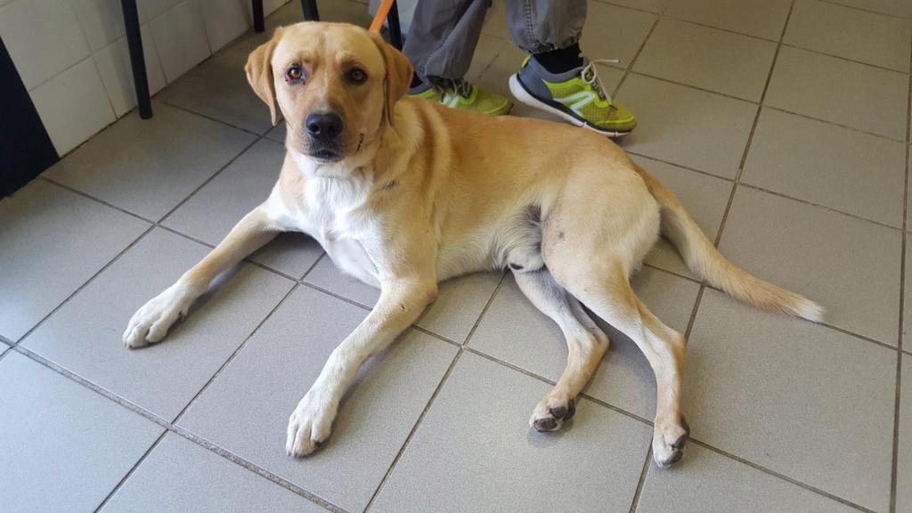 Tyson, labrador sable 2 ans 1/2 - asso SOS Décharge, Corse du sud Tyson_10