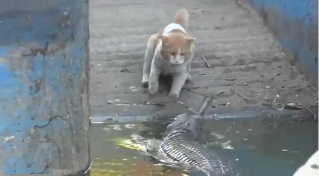 Video: Un gato pelea con un cocodrilo y le gana. Gatovs10