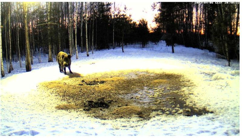 Boars cam, winter 2012 - 2013 - Page 32 2013-195