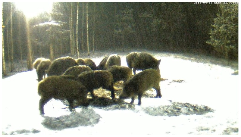 Boars cam, winter 2012 - 2013 - Page 32 2013-203