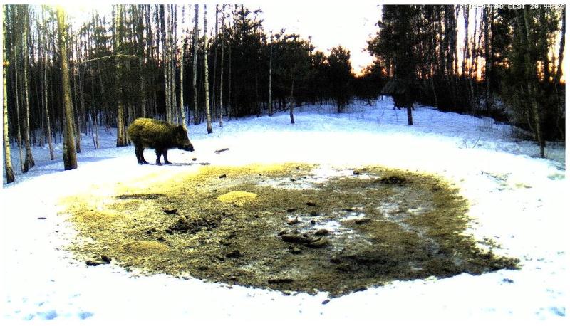 Boars cam, winter 2012 - 2013 - Page 32 2013-215