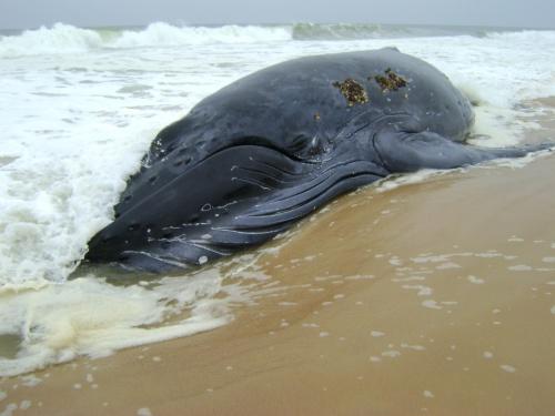 Une baleine s'échoue sur la côte de Dellys Balein10
