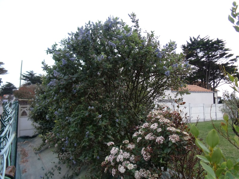 Les arbustes de printemps Dscf1014