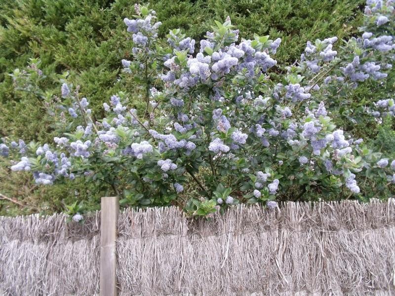 Les arbustes de printemps Dscf1015