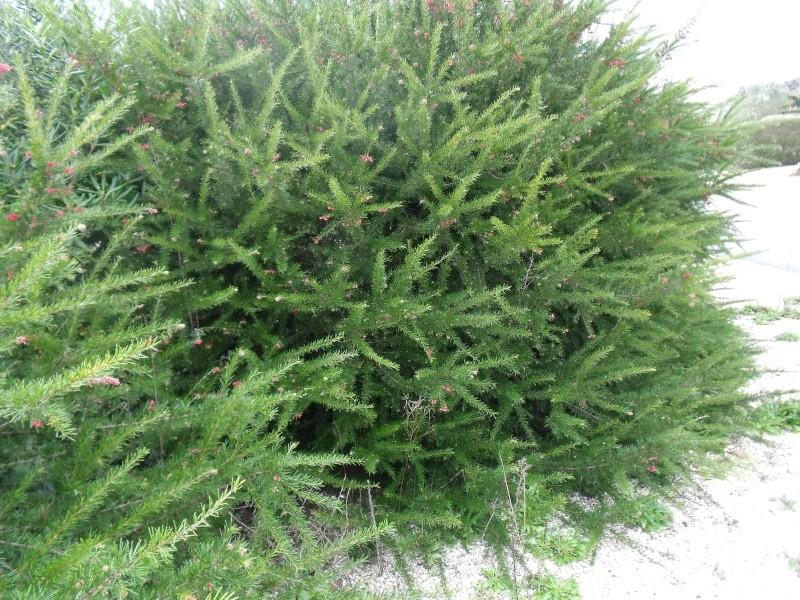 Les arbustes de printemps Dscf1016