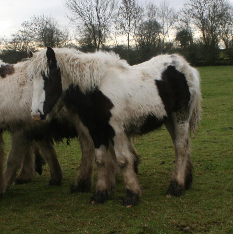 Nouvelles photos des petits Irish d'Irlande Foalsf10