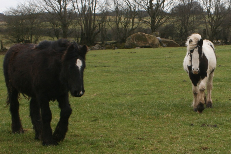 Nouvelles photos des petits Irish d'Irlande Foalsf11