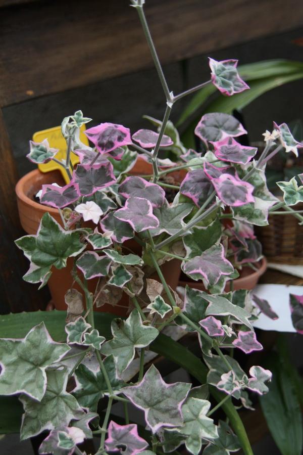 Géraniums( Pelargonium) Img_9824