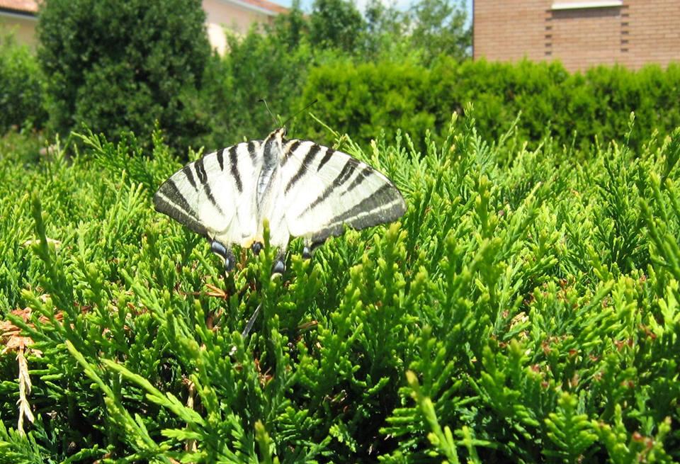 Papillons Farfal10