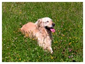 Le golden retriever : Le forum et le site du golden retriever. - Portail Photos10