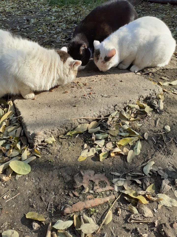 LOLLIPOPS, chatte tricolore née en 2019 - marrainée par Lilirez2 Iv_04010