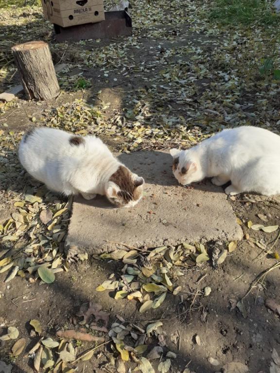 LOLLIPOPS, chatte tricolore née en 2019 - marrainée par Lilirez2 Iv_04110