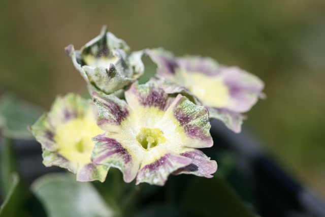 PRIMULA AURICULA  - Page 2 Img_3110