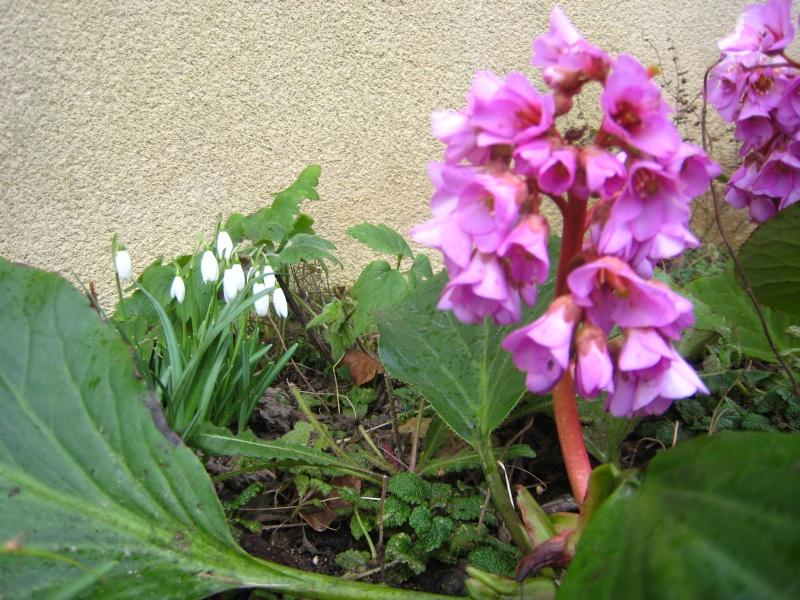 Galanthus nivalis : le Perce neige. - Page 2 Img_5710