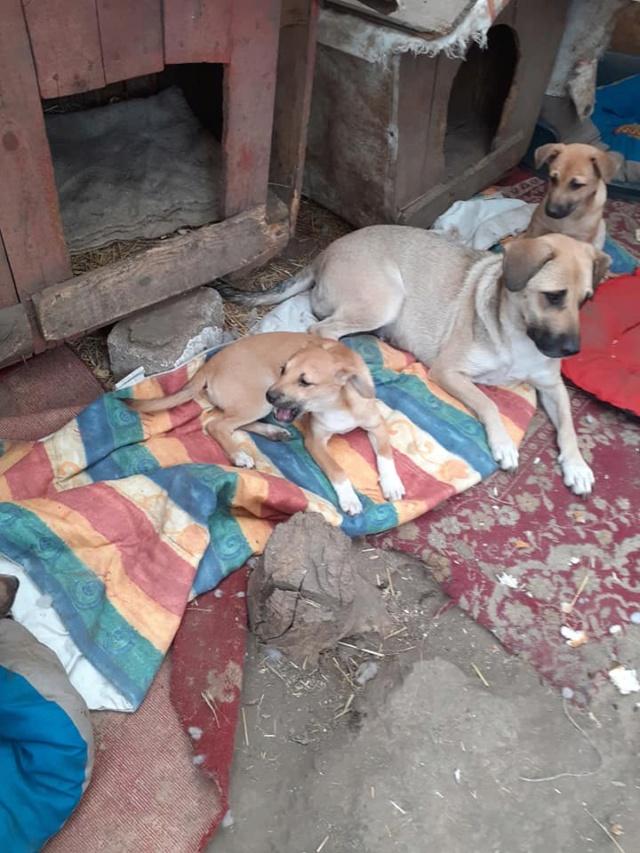Manisha - MANISHA née en 2018 - maman et ses 3 chiots sauvés de Mihailesti le 20/08/2020 - parrrainée par Coco65-R-SC-SOS 12403010
