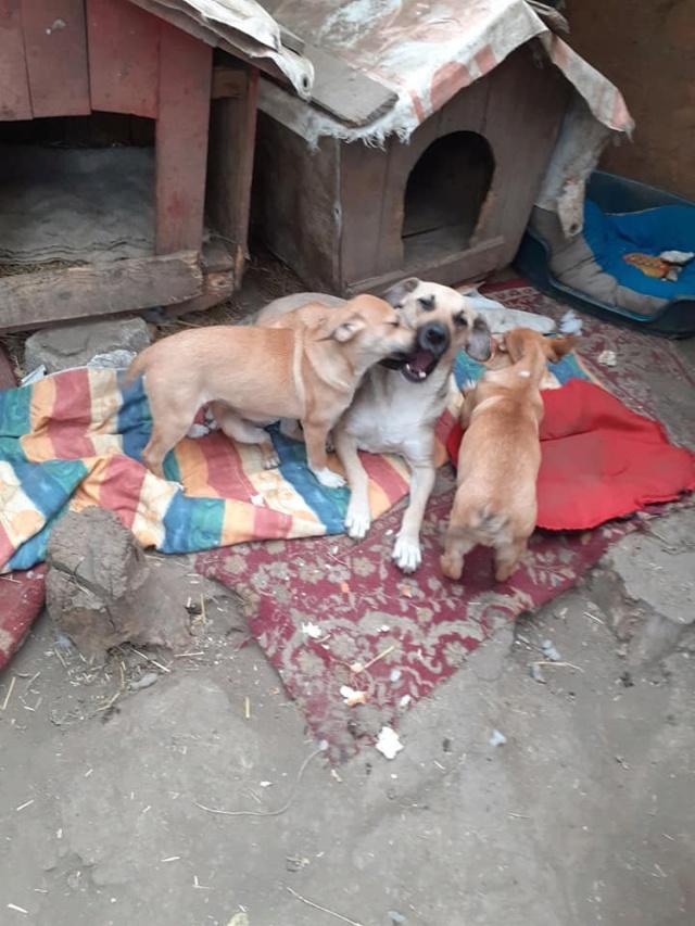 Manisha - MANISHA née en 2018 - maman et ses 3 chiots sauvés de Mihailesti le 20/08/2020 - parrrainée par Coco65-R-SC-SOS 12410110