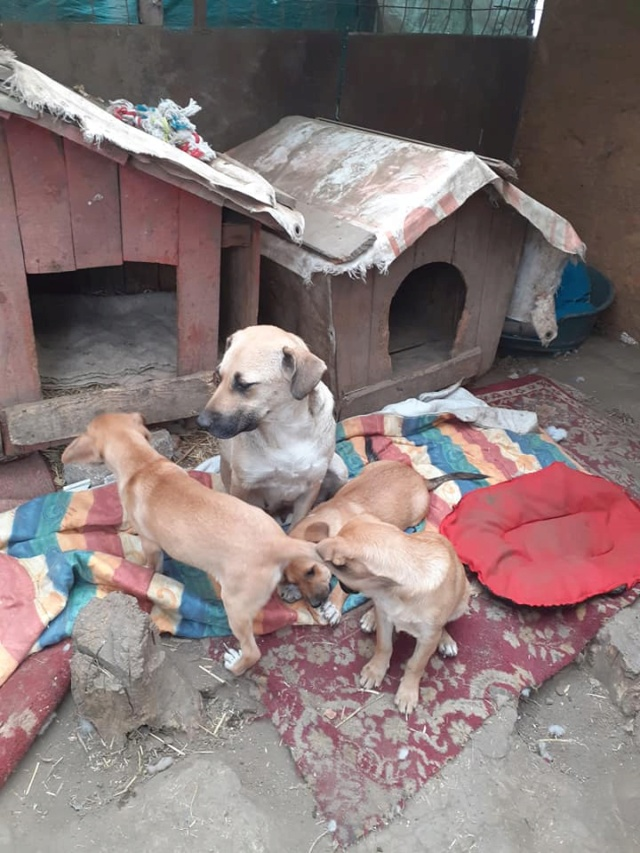 Manisha - MANISHA née en 2018 - maman et ses 3 chiots sauvés de Mihailesti le 20/08/2020 - parrrainée par Coco65-R-SC-SOS 12443510