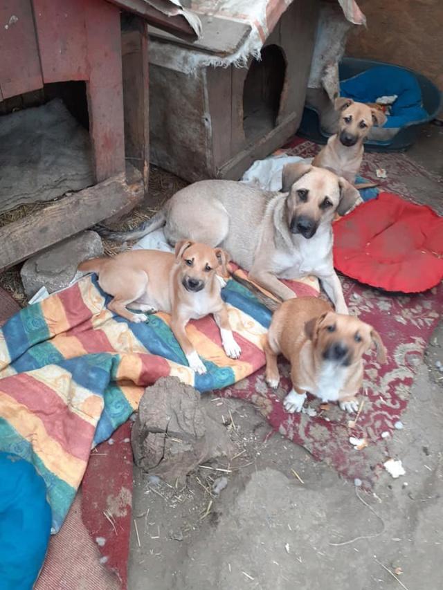 Manisha - MANISHA née en 2018 - maman et ses 3 chiots sauvés de Mihailesti le 20/08/2020 - parrrainée par Coco65-R-SC-SOS 12445310