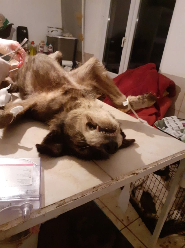 RODA, femelle de taille moyenne née en 2012, trouvée dans la rue - Parrainée par Manganouchka --R-SOS-SC 13114910