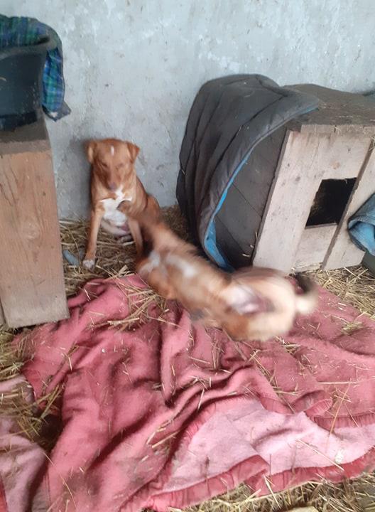 GRAZZIA - femelle née en 2019 - Trouvée errante dans le champs en face du refuge en Décembre 2020-R- 13726410