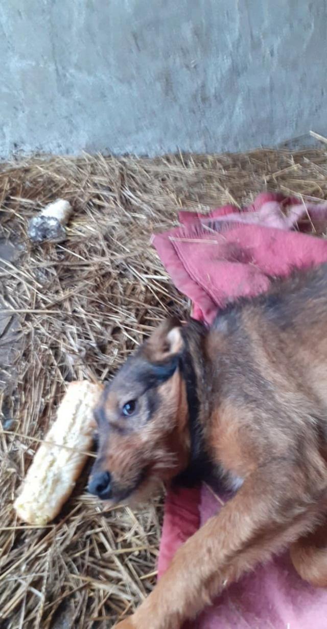 snooki - SNOOKI - mâle - né en 2019, trouvé errant dans le champs en face du refuge en Décembre 2020-R-sSOS-SC 13726910
